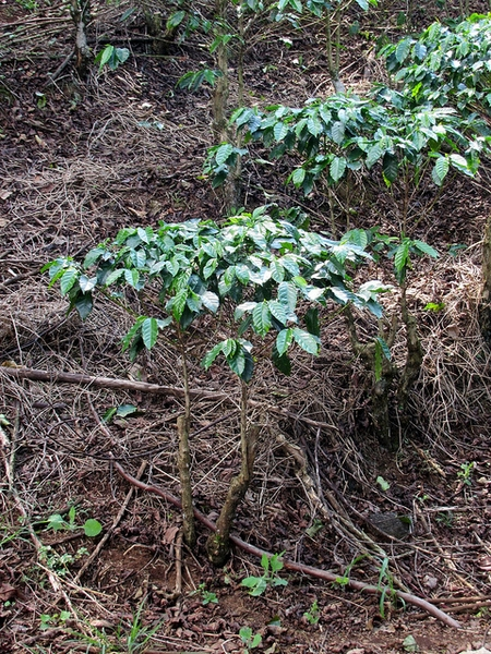 Coffea arabica habit