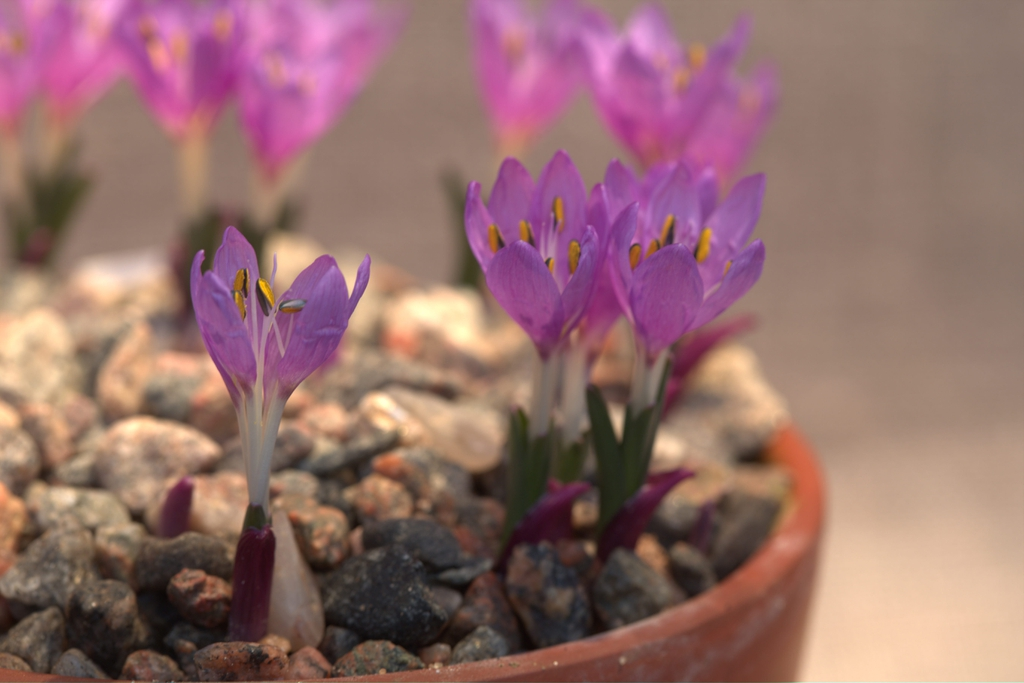 Colchicum figlalii Flowers and Leaves