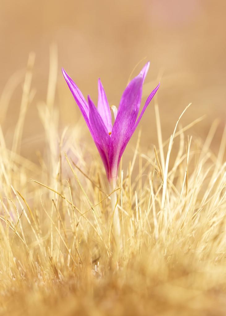 Colchicum neapolitanum Flower