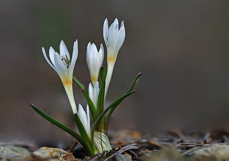 Colchicum serpentinumFlowers and Leaves