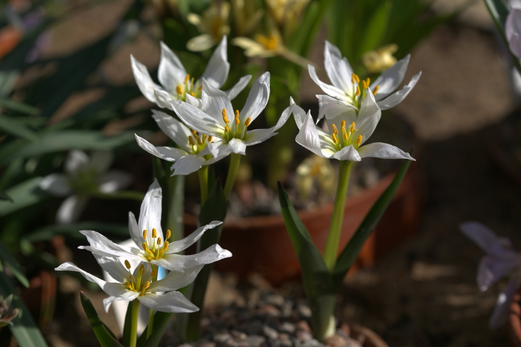 Colchicum szovitsii flowers and leaves