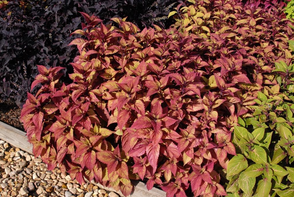 Coleus ColorBlaze Royal Glissade fm 072209 CryMS