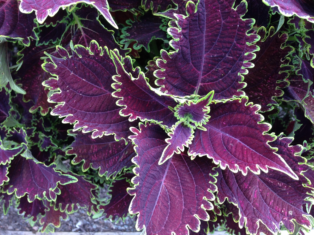 Coleus ColorBlaze Wicked Witch