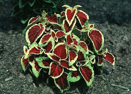 Coleus X hybridus (Solenostemon scutellarioides)