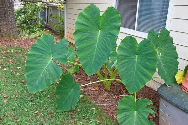 Colocasia spp.