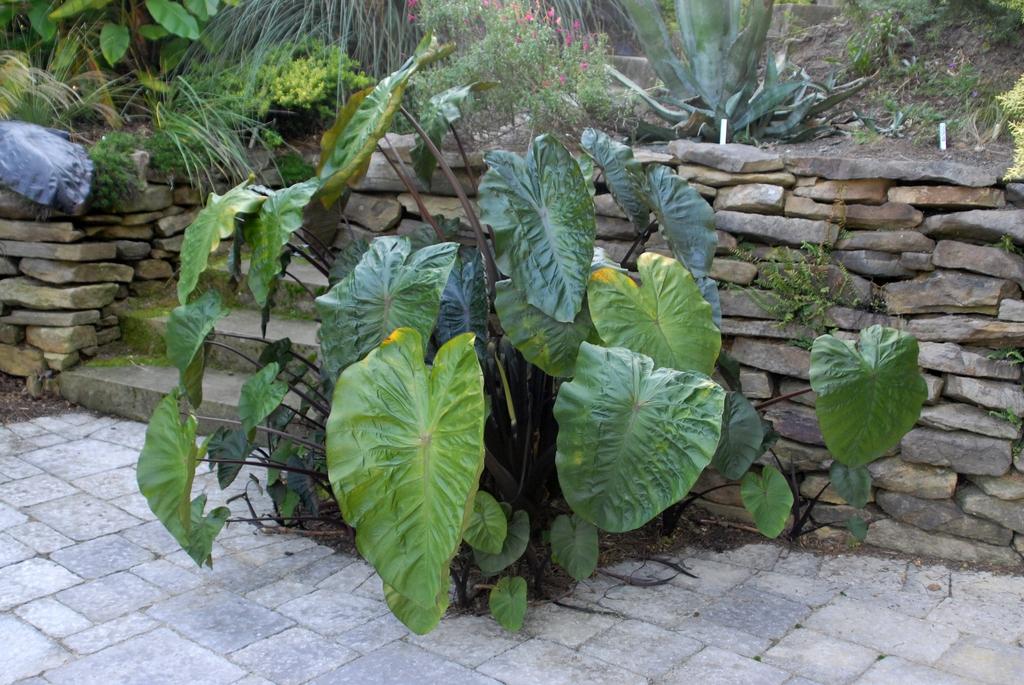 Colocasia esculenta 'Hilo Bay' - full plant
