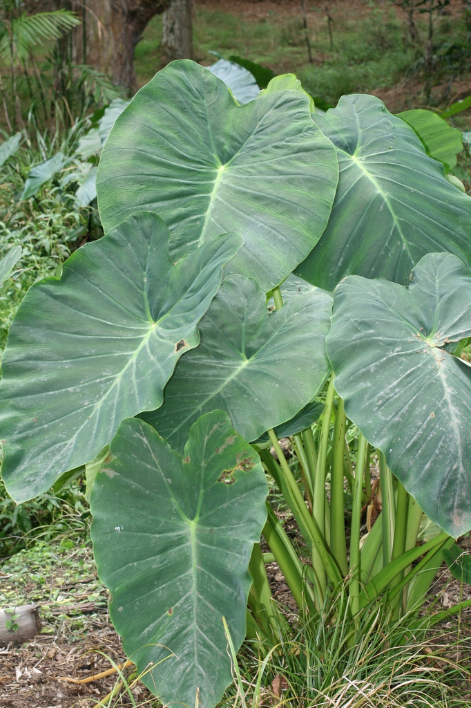 Colocasia esculenta leavs