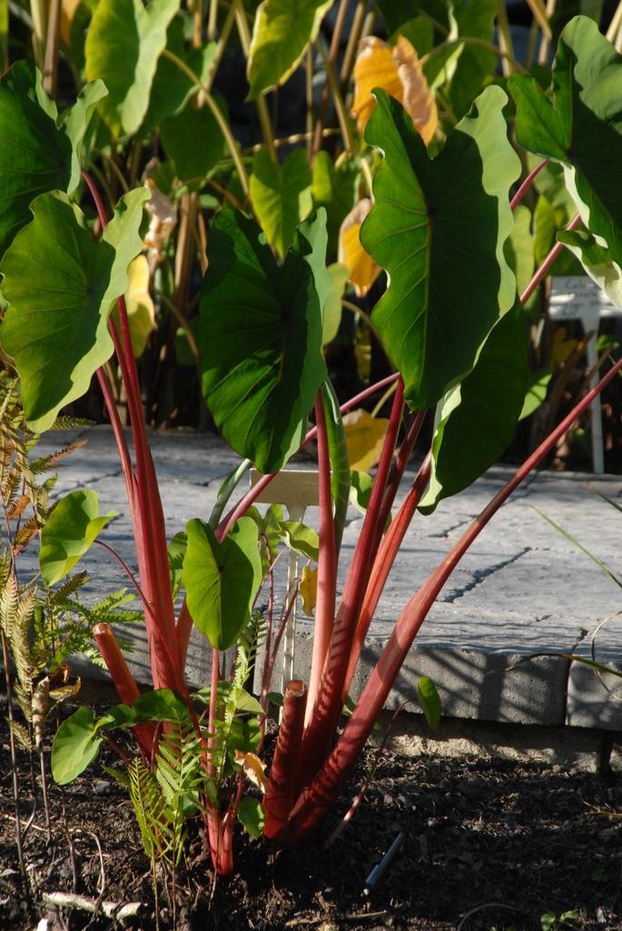Colocasia esculenta 'Rhubarb' - stalks and foliage close up