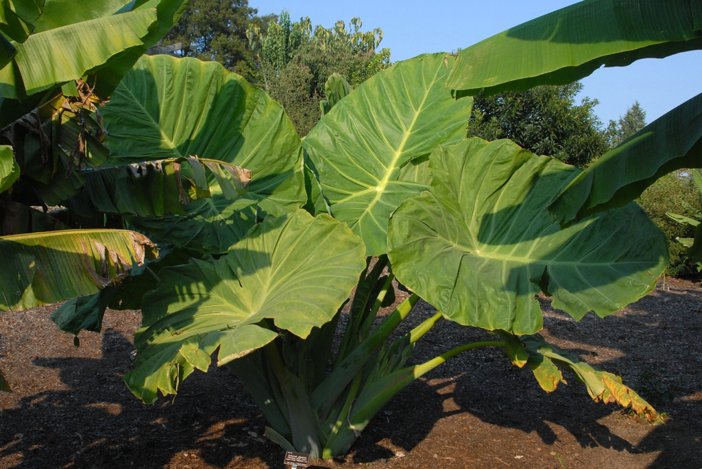 Colocasia gigantea - full large mature plant