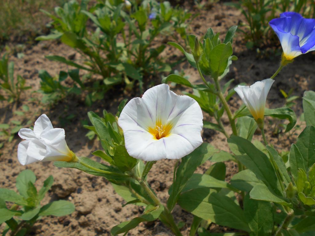 Convolvula tricolor