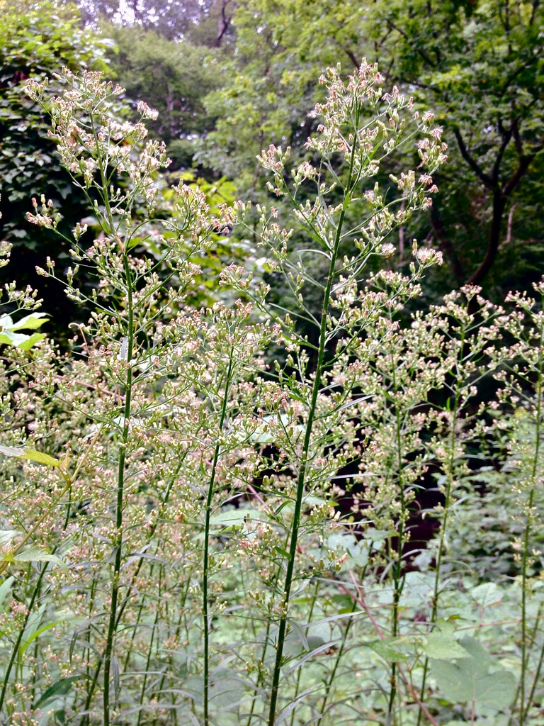 Conyza canadensis Canadian horseweed