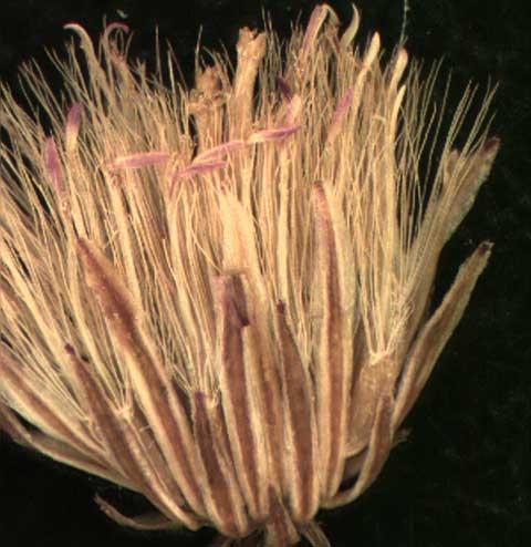 Conyza canadensis (L.)
