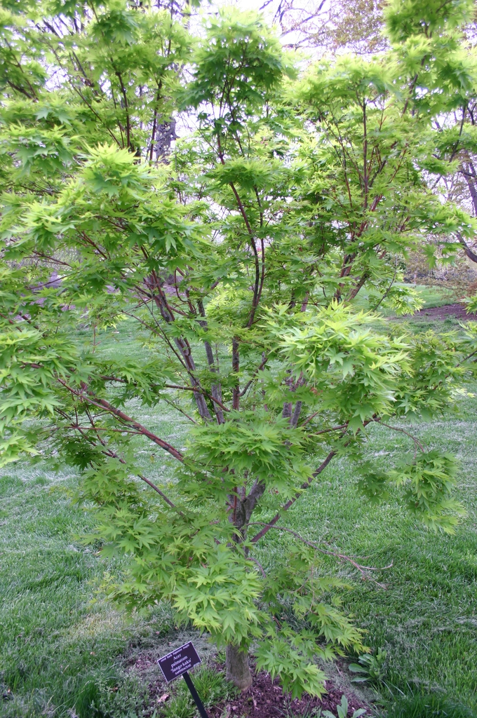 Coral bark Japanese maple, Acer palmatum 'Sango-kaku'