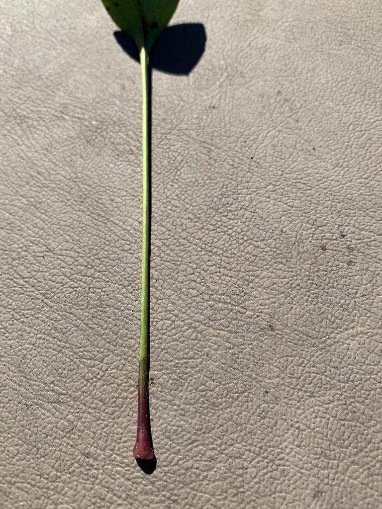 Stem with purplish base