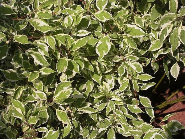 Cornus alba 'Argenteo-marginata'