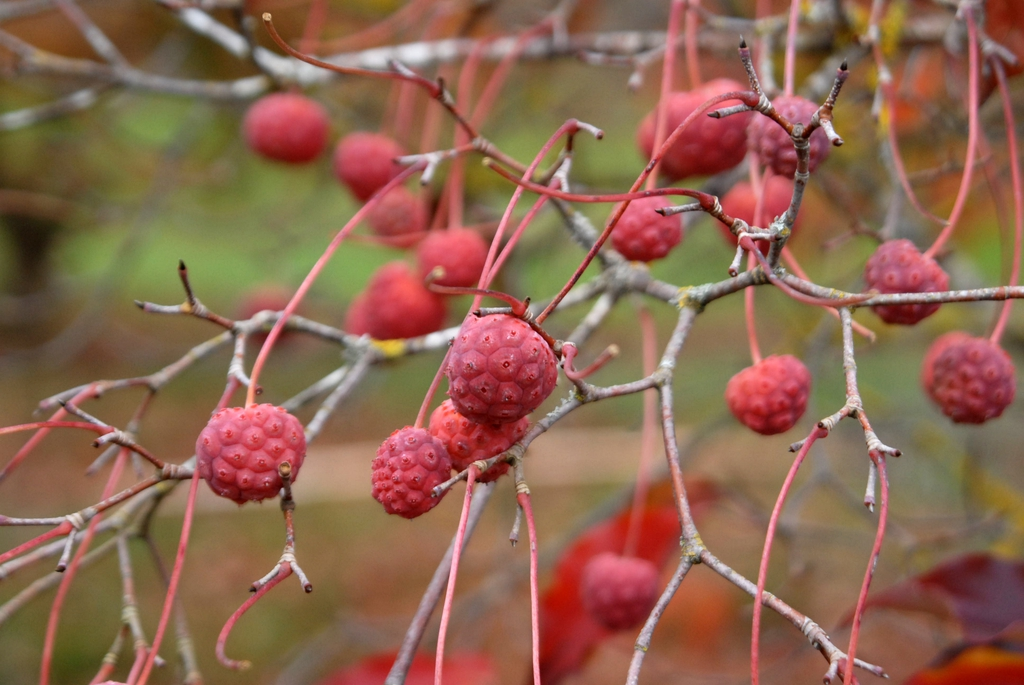 Cornus kousa - berry up close with no foliage
