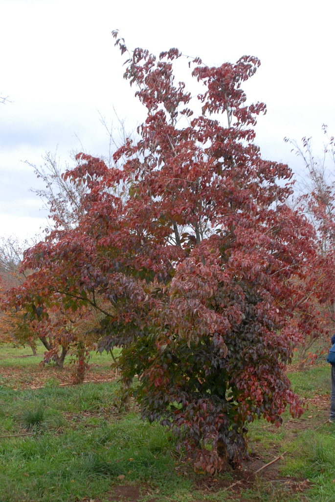 Cornus kousa - fall foliage