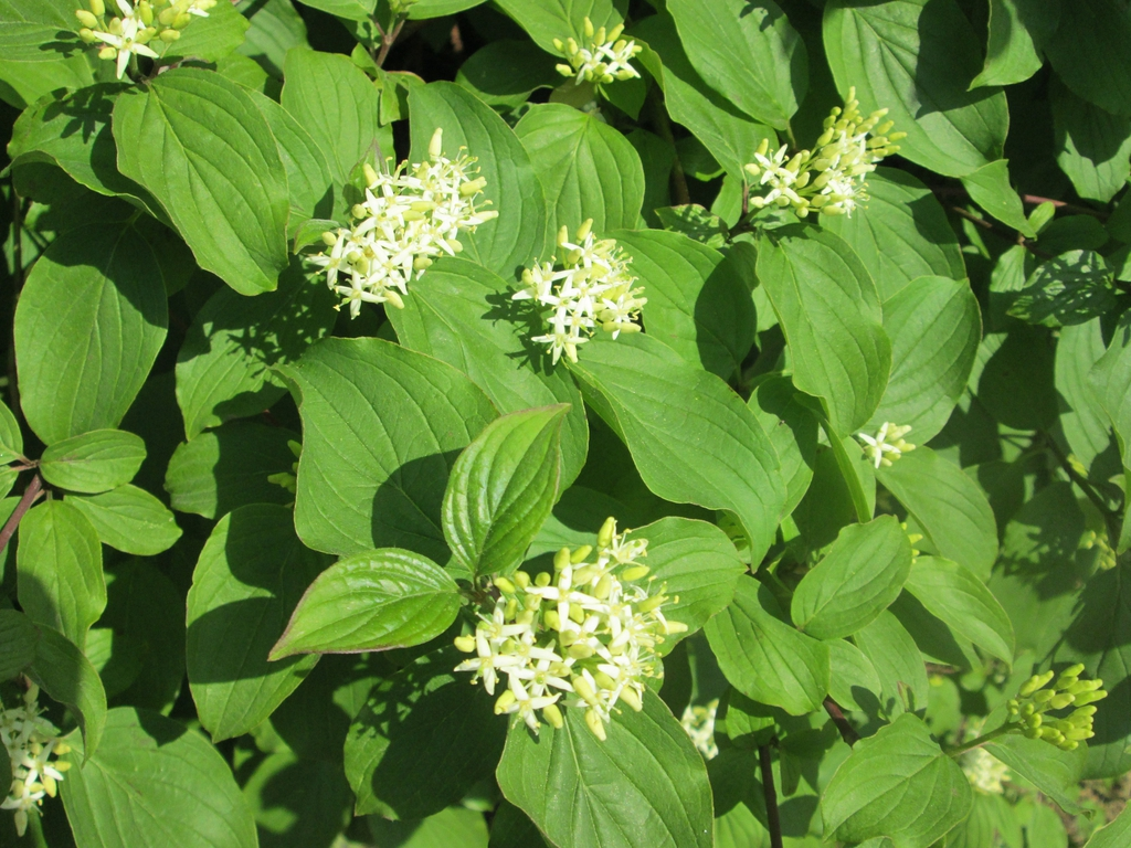 Cornus sanguinea flower and leaves 2