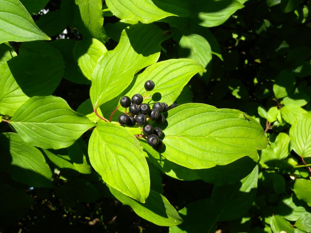 Cornus sanguinea fruits
