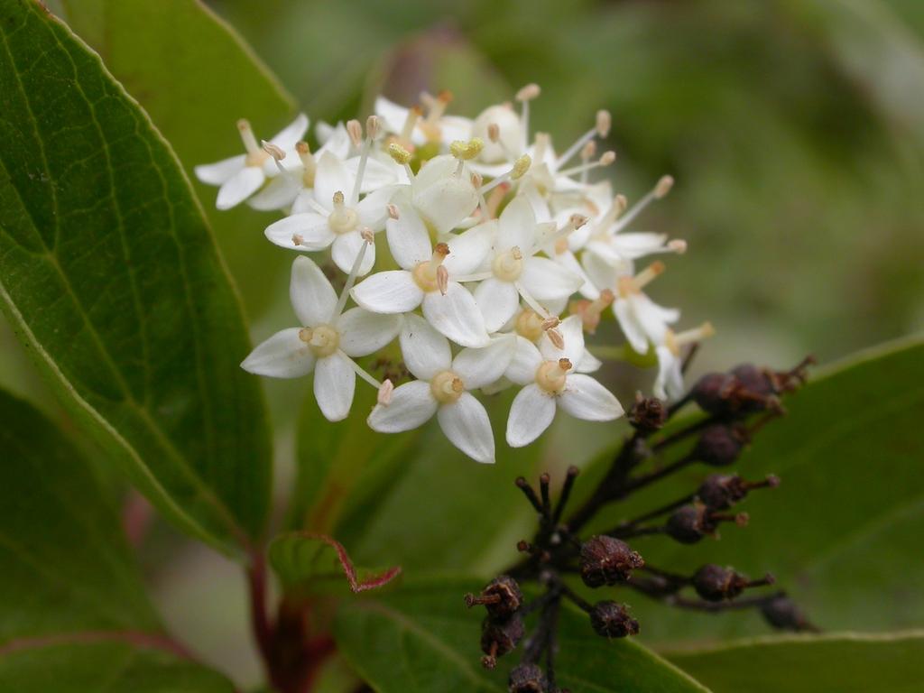 Cornus sericea flowers 2