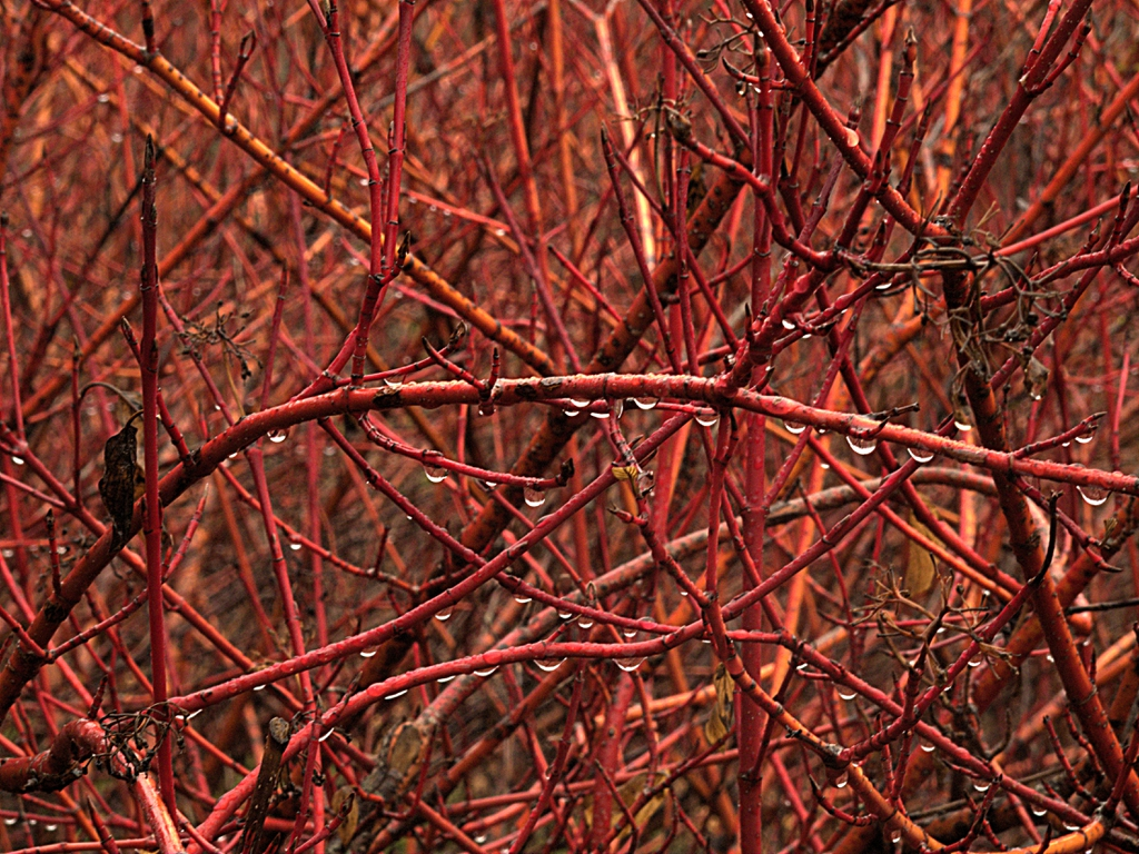 Cornus sericea ssp. red winter stem