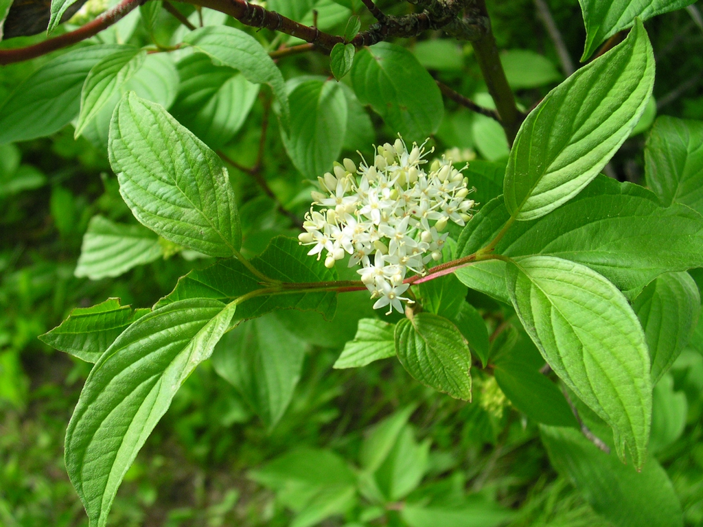 Cornus stolonifera flower and leaves