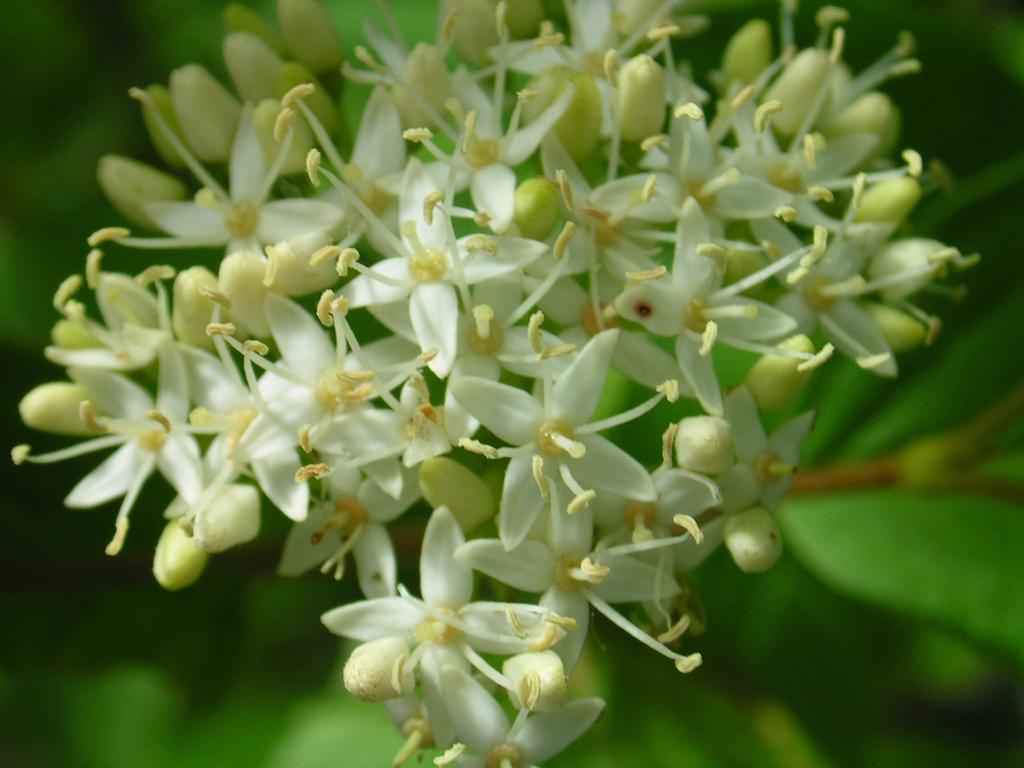 Cornus stolonifera flowers