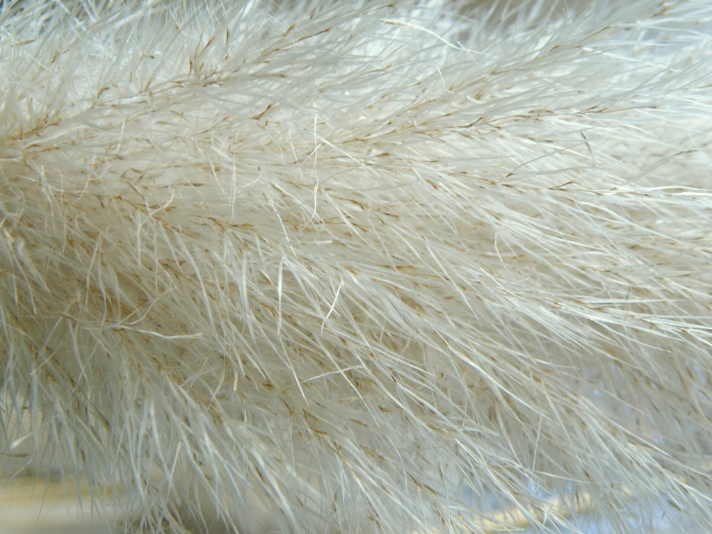 Cortaderia selloana top