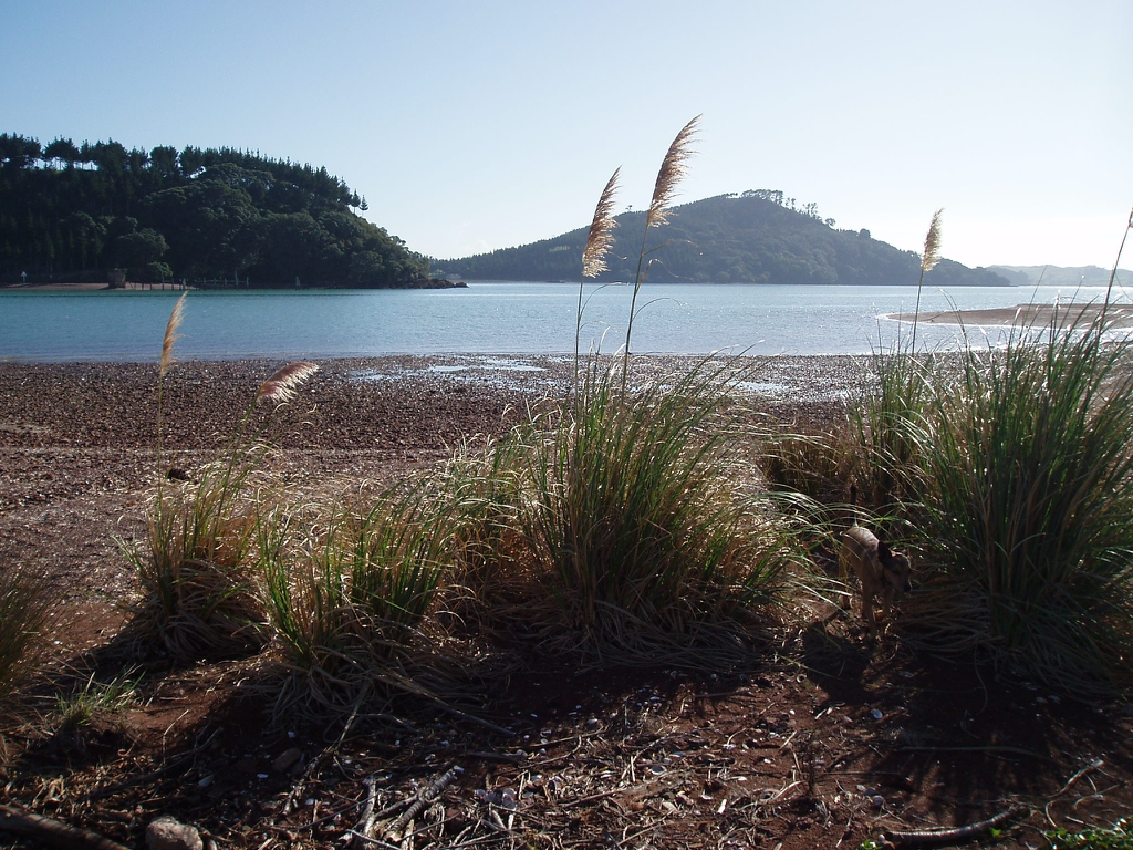 Cortaderia selloana coast