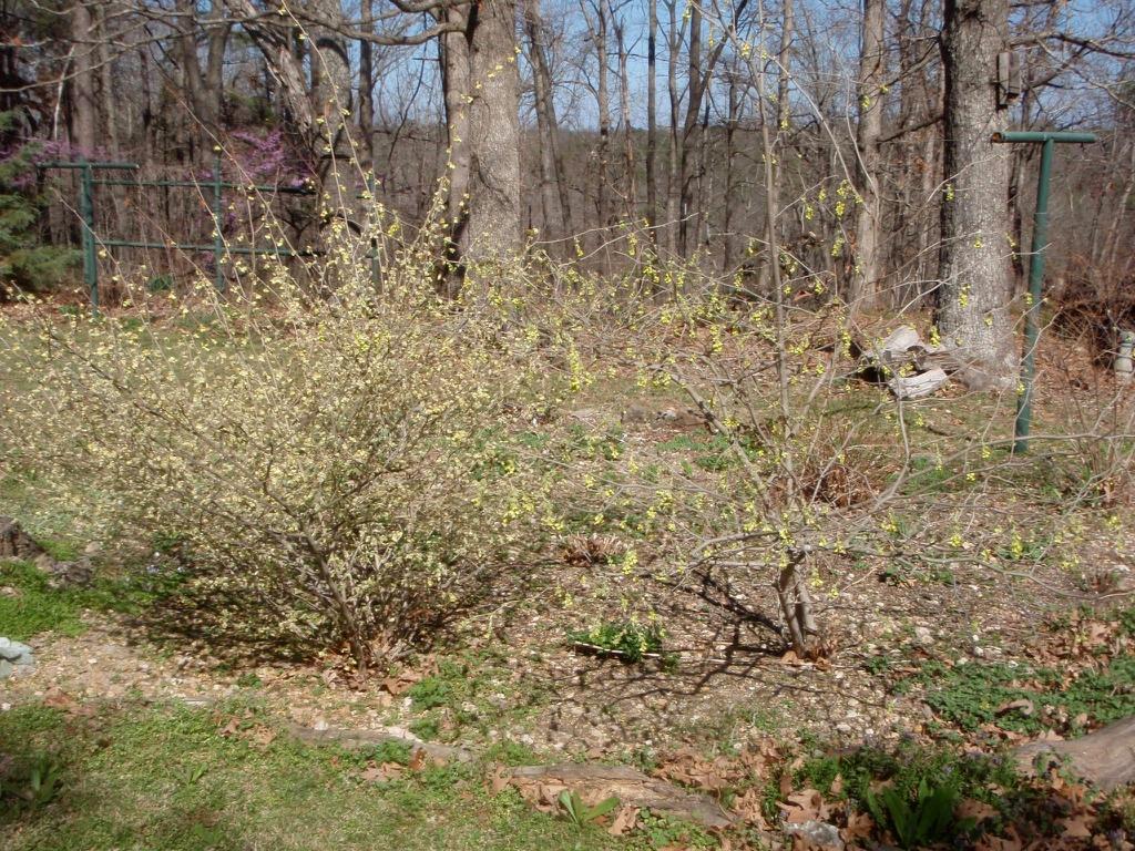 Corylopsis pauciflora Fall Form