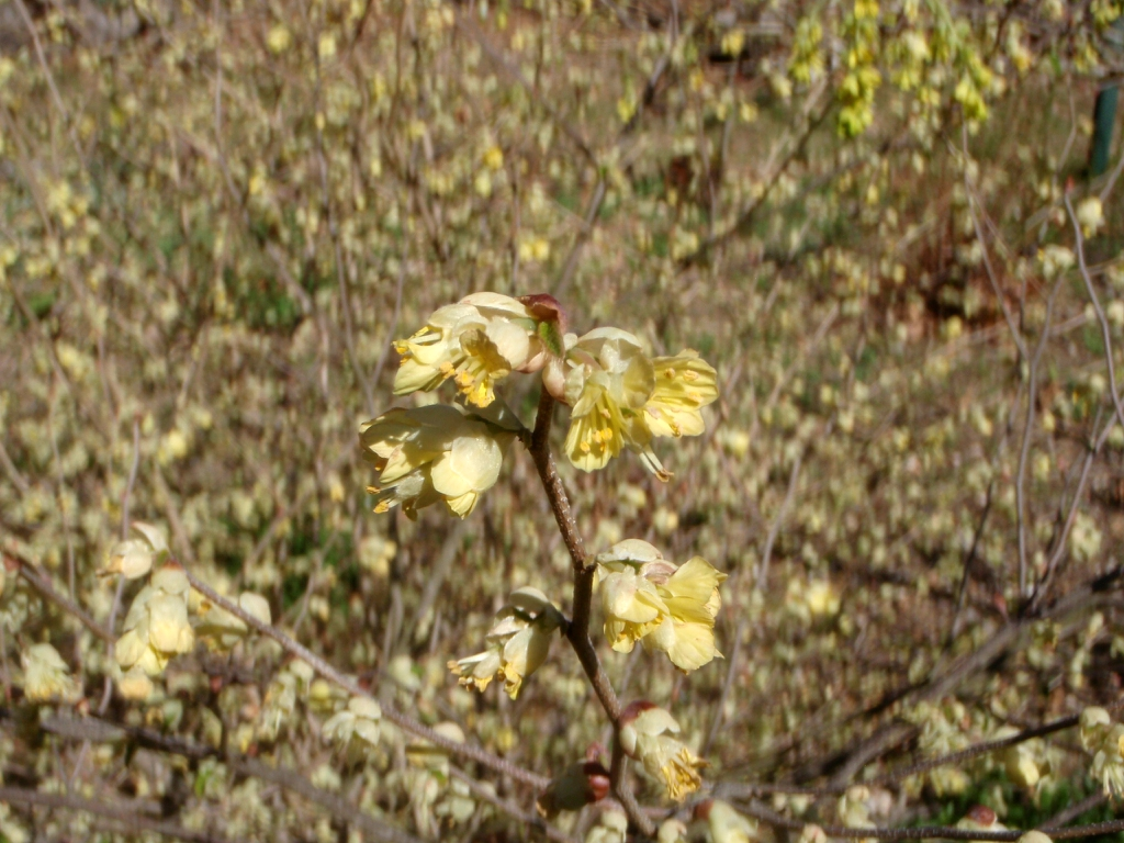 Corylopsis pauciflora Flowers