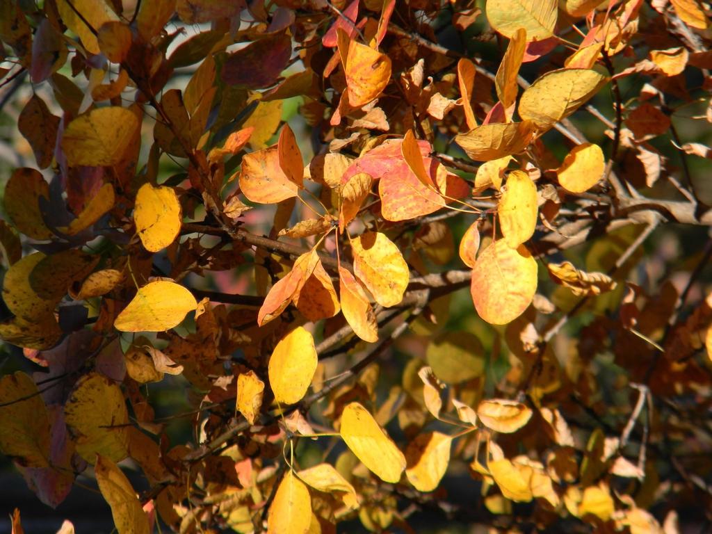 Cotinus coggygria 'Ancot' GOLDEN SPIRIT
