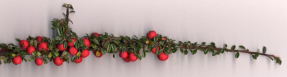 Cotoneaster integrifolius