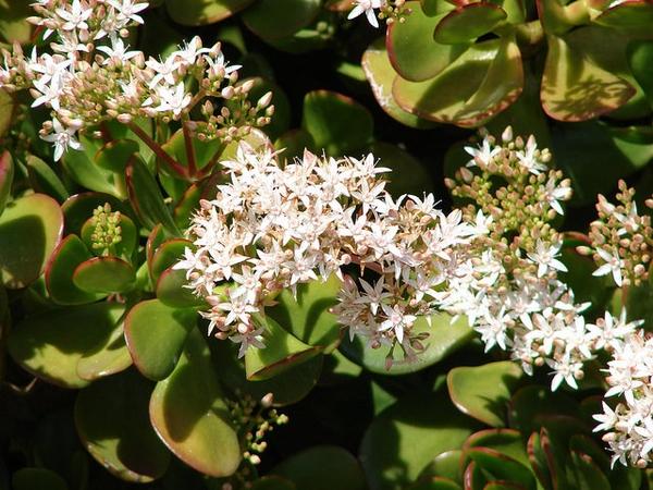 Crassula argentea in bloom