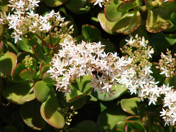 Crassula argentea in bloom