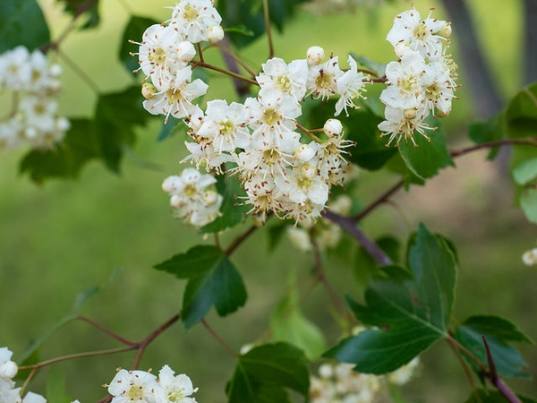 Crataegus phaenopyrum flowers