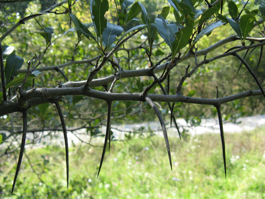 Crataegus crusgalli - thorns on limb
