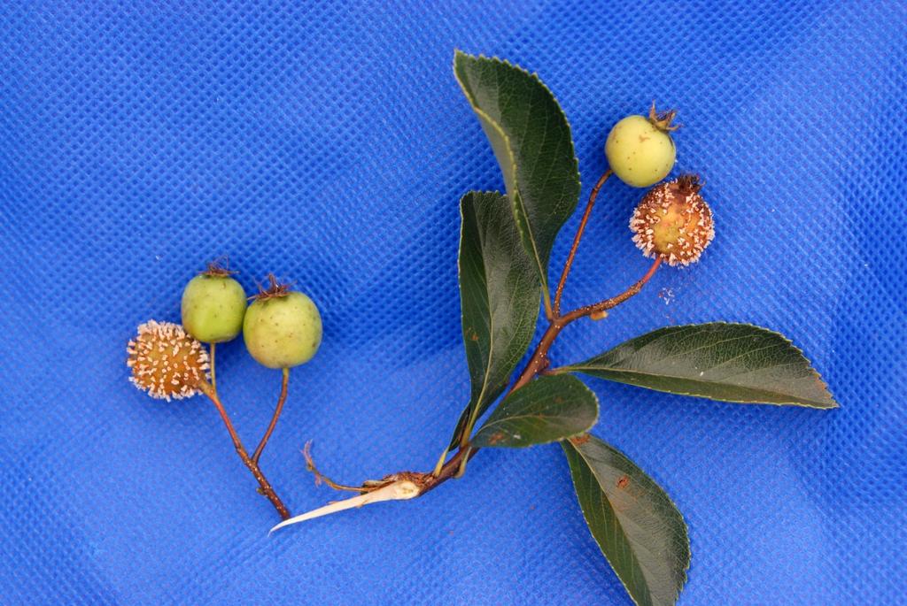 Crataegus crusgalli var. inermis 'Cruzgam' - fruit and leaf