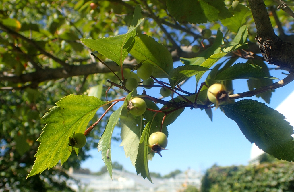 Leaves and unripe fruits