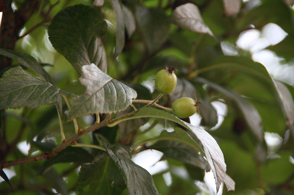 Leaves and unripe fruit