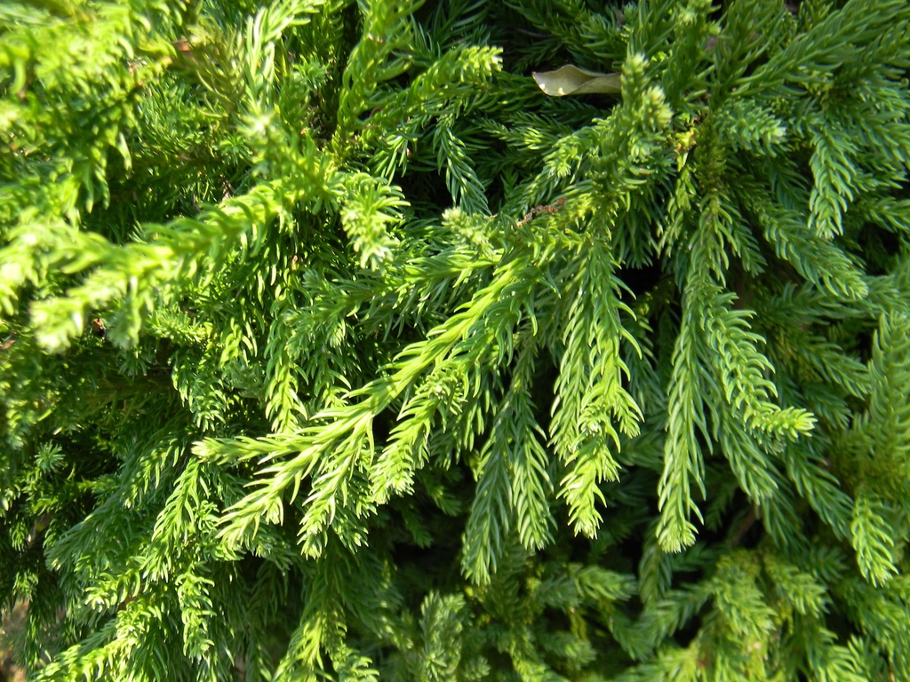 Cryptomeria japonica 'Magic Dragon'