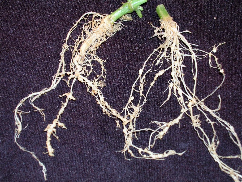 Cucumber root knot