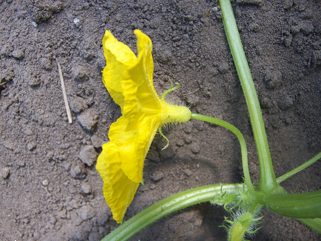 Cucumis sativus male flower