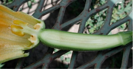 Zucchini Flower and Fruit Cut in Half