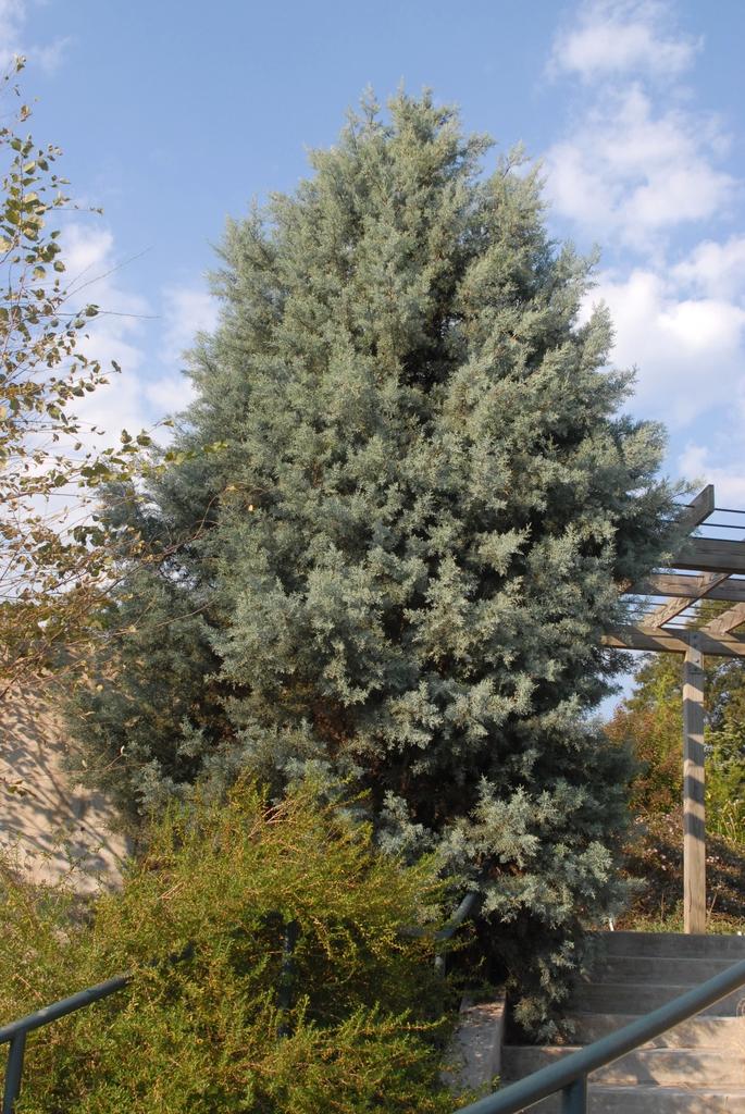 'Sapphire Skies' Tree