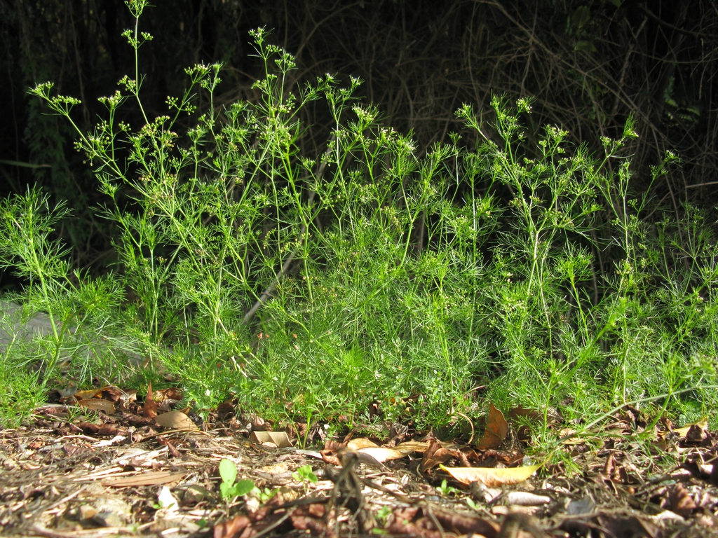 Cyclospermum leptophyllum habit
