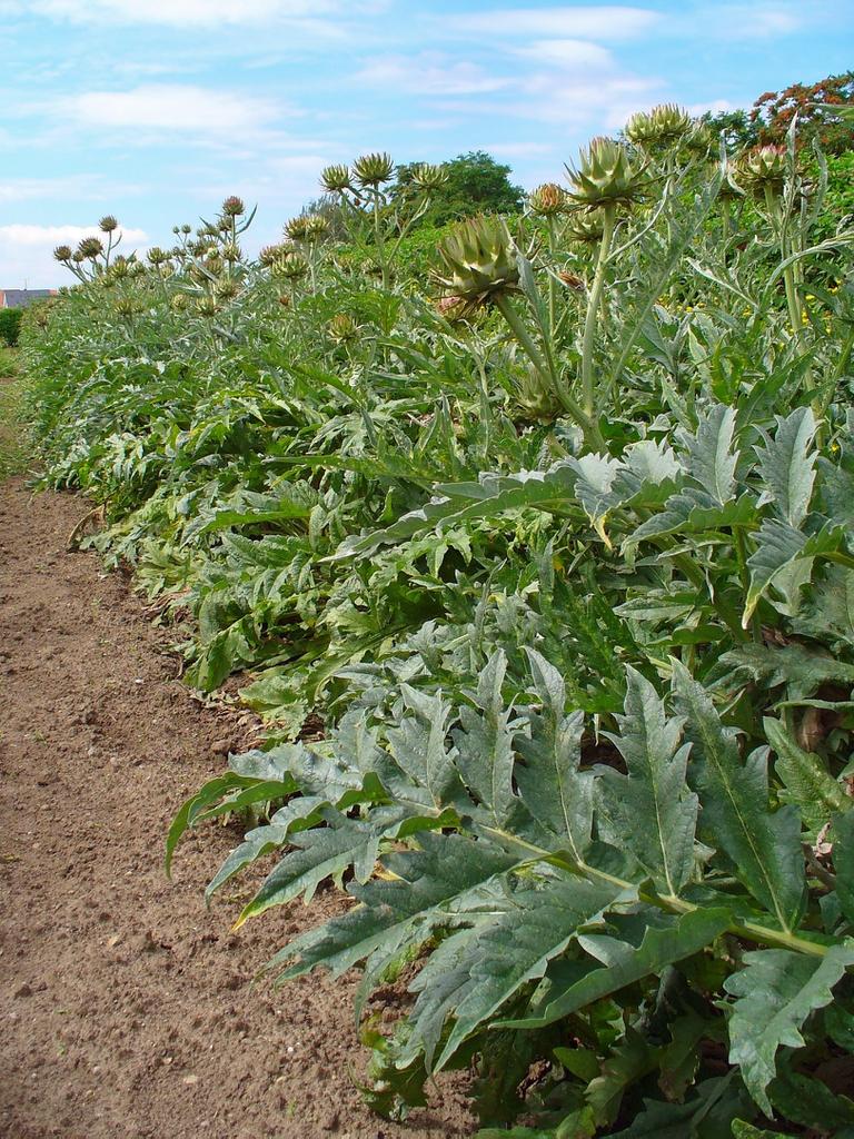 Cynara cardunculus plantation