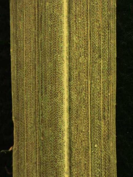 Cyperus spp.