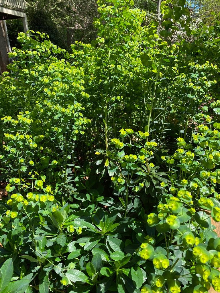 Erect form, spring, Davidson County, NC.