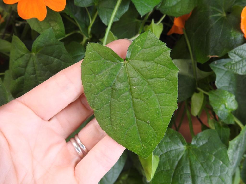 Triangular shaped leaf